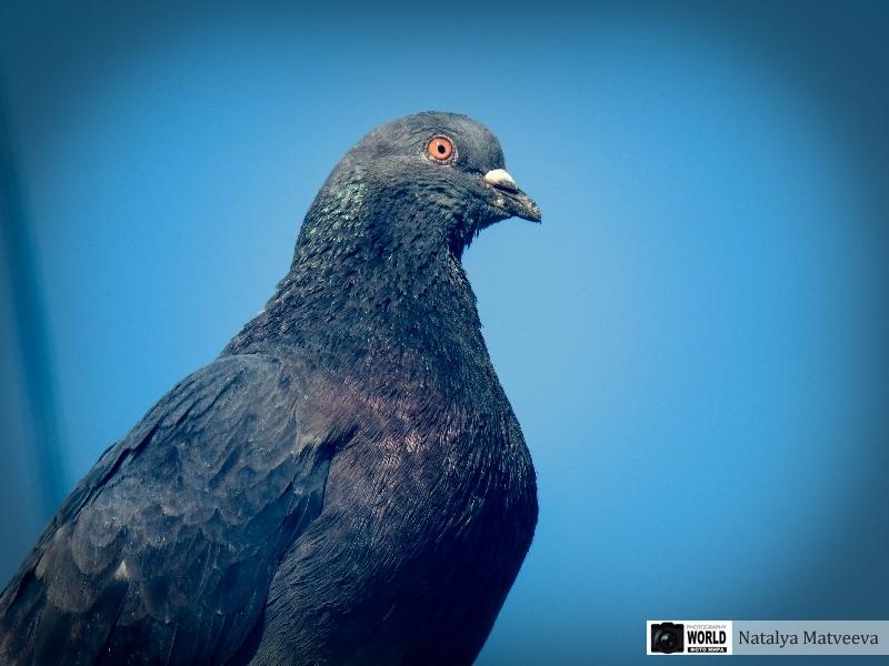 foto golubj mira