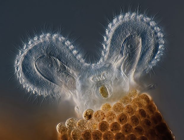 Floschularia Ringerns Rotifer feeding by Charles Crebs