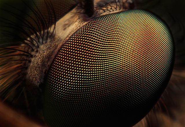 Eye of a large Robber Fly: Magnification 8, f/11, ISO 100 and 1/250 sec